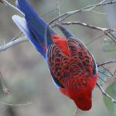 Crimson rosella. Adult. Canberra, Australia, April 2016. Image © R.M. by R.M.