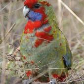 Crimson rosella. Juvenile. Canberra, Australia, May 2016. Image © R.M. by R.M.