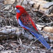 Crimson rosella. Adult. Canberra, Australia, June 2016. Image © R.M. by R.M.