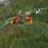 Eastern rosella. Pair feeding in treetop. North Shore Auckland, July 2009. Image © Peter Reese by Peter Reese