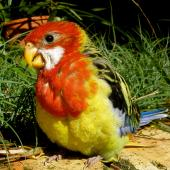 Eastern rosella. Chick c. 28 days old (pre-fledging). Birkenhead, Auckland, December 2008. Image © Josie Galbraith by Josie Galbraith