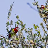 Eastern rosella. Pair feeding on flowers (male on left). Te Puke, September 2011. Image © Raewyn Adams by Raewyn Adams