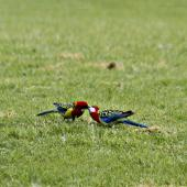 Eastern rosella. Courtship feeding (male on left). Tauranga, October 2011. Image © Raewyn Adams by Raewyn Adams