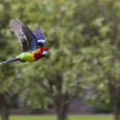 Eastern rosella. Ventral view in flight. Tauranga, October 2011. Image © Raewyn Adams by Raewyn Adams
