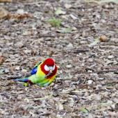 Eastern rosella. Male nibbling stick held in foot. Tauranga, September 2012. Image © Raewyn Adams by Raewyn Adams