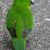 Red-crowned parakeet. Adult, dorsal view showing wing and tail feathers. Kapiti Island, November 2015. Image © Paul Le Roy by Paul Le Roy