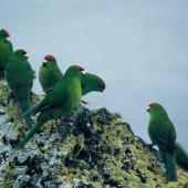Red-crowned parakeet. Kermadec subspecies. Macauley Island, Kermadec Islands, September 1988. Image © Alan Tennyson by Alan Tennyson