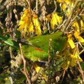 Red-crowned parakeet. Adult feeding on kowhai. Matiu/Somes Island, Wellington Harbour, October 2010. Image © Alan Tennyson by Alan Tennyson