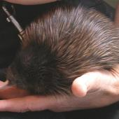 North Island brown kiwi. 3-day-old chick. Waimarino Forest, September 2006. Image © Kerry Oates by Kerry Oates