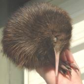 North Island brown kiwi. 1-week-old chick. Enviro Research Ohakune, September 2006. Image © Kerry Oates by Kerry Oates