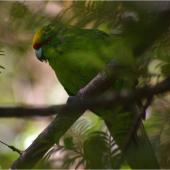 Yellow-crowned parakeet. Adult showing camouflage effect. Anchor Island, Dusky Sound, March 2011. Image © Colin Miskelly by Colin Miskelly