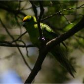 Yellow-crowned parakeet. Adult in shadow. Whenua Hou / Codfish Island, December 2011. Image © Colin Miskelly by Colin Miskelly