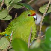 Yellow-crowned parakeet. Close view of adult. Mana Island, March 2009. Image © Peter Reese by Peter Reese