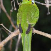 Yellow-crowned parakeet. Close view of back and tail. Mana Island, March 2009. Image © Peter Reese by Peter Reese