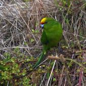Yellow-crowned parakeet. Adult showing crown. Mana Island, November 2012. Image © Colin Miskelly by Colin Miskelly