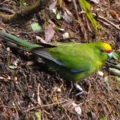Yellow-crowned parakeet. Adult on ground looking up. Maungatautari. Image © Ray Buckmaster by Ray Buckmaster