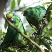 Orange-fronted parakeet. Adult male (left) and female in captivity. Isaacs Wildlife Trust, Christchurch. Image © John Kearvell by John Kearvell