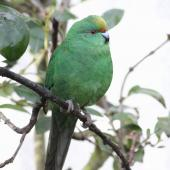 Orange-fronted parakeet. Adult female in captivity. Isaacs Wildlife Trust, Christchurch. Image © John Kearvell by John Kearvell