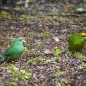 Orange-fronted parakeet. Mixed pair orange-fronted parakeet female (3-4 months old, left) with yellow-crowned parakeet male (right) feeding on forest floor. South Branch Hurunui, December 2015. Image © Corey Connor by Corey Connor