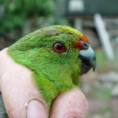 Forbes' parakeet. Close up of adult head in the hand. Mangere Island, February 2009. Image © Graeme Taylor by Graeme Taylor