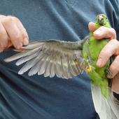 Forbes' parakeet. Adult in hand, showing underwing and underside. Mangere Island, February 2009. Image © Graeme Taylor by Graeme Taylor