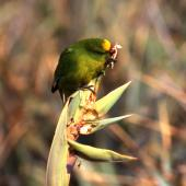 Forbes' parakeet. Adult feeding on flax flowerbuds. Mangere Island, December 2000. Image © Terry Greene by Terry Greene