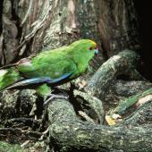 Forbes' parakeet. Adult near nest entrance. Mangere Island, Chatham Islands. Image © Department of Conservation (image ref: 10033991) by Dick Veitch, Department of Conservation Courtesy of Department of Conservation