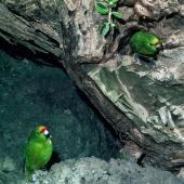 Forbes' parakeet. Adult male (left) calling female off nest (right). Mangere Island, Chatham Islands, November 1982. Image © Department of Conservation (image ref: 10033458) by Dave Crouchley, Department of Conservation Courtesy of Department of Conservation