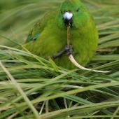 Antipodes Island parakeet. Adult holding grass in foot. Antipodes Island, March 2009. Image © David Boyle by David Boyle