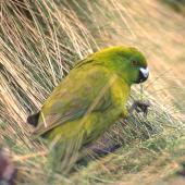 Antipodes Island parakeet. Adult eating grass leaves. Antipodes Island, November 1995. Image © Terry Greene by Terry Greene