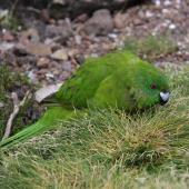 Antipodes Island parakeet. Adult feeding on grass. Antipodes Island, February 2009. Image © Mark Fraser by Mark Fraser