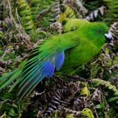 Antipodes Island parakeet. Adult showing wing feathers. Antipodes Island, March 2009. Image © Mark Fraser by Mark Fraser
