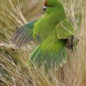 Reischek's parakeet. Juvenile turning head with feathers fluffed up. Antipodes Island, March 2009. Image © David Boyle by David Boyle