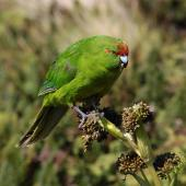Reischek's parakeet. Adult feeding on Anisotome antipoda. Antipodes Island, February 2009. Image © Mark Fraser by Mark Fraser