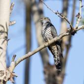 Oriental cuckoo. Adult male. Anstead Bushland Reserve, Queensland, March 2019. Image © Jill Duncan 2020 birdlifephotography.org.au by Jill Duncan