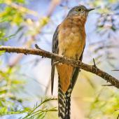 Fan-tailed cuckoo. Adult. Dungog NSW, April 2014. Image © Dick Jenkin by Dick Jenkin    www.jenkinphotography.com.au