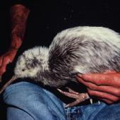 Okarito brown kiwi. Partly white bird in captivity. Hokitika, June 2002. Image © Alan Tennyson by Alan Tennyson
