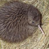 Okarito brown kiwi. Chick. Motuara Island, Marlborough. Image © Department of Conservation ( image ref: 10059700 )  by Chrissy Wickes Department of Conservation  Courtesy of Department of Conservation