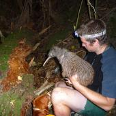 Okarito brown kiwi. A kiwi recovery ranger holds a young adult. Motuara Island, February 2013. Image © Julie Alach by Julie Alach