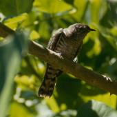 Shining cuckoo. Adult. Little Barrier Island. Image © Terry Greene by Terry Greene