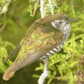 Shining cuckoo. Adult showing iridescent feathers. Lower Hutt, November 2009. Image © John Flux by John Flux