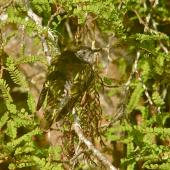 Shining cuckoo. Adult showing camouflage in kowhai tree. Lower Hutt, November 2009. Image © John Flux by John Flux