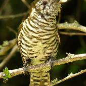 Shining cuckoo. Ventral view of adult. Wanganui, November 2010. Image © Ormond Torr by Ormond Torr