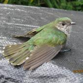 Shining cuckoo. Juvenile recovering after hitting window. Whitianga, February 2014. Image © Len Salt by Len Salt