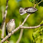 Shining cuckoo. Part of sequence grey warbler feeding cuckoo chick . Sandy Bay, Whangarei, January 2014. Image © Malcolm Pullman by Malcolm Pullman Malcolm Pullman aqualine@igrin.co.nz