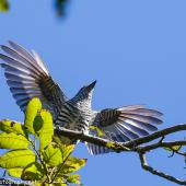 Shining cuckoo. Adult displaying to another shining cuckoo. Manawatu, October 2017. Image © Imogen Warren by Imogen Warren