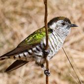 Shining cuckoo. Adult. Haast Pass, October 2013. Image © Nathan Hill by Nathan Hill