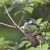 Shining cuckoo. Adult. Walk to Maclean's Falls, Catlins, November 2011. Image © Sonja Ross by Sonja Ross