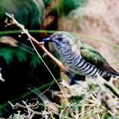 Shining cuckoo. Adult. Kapiti Island, February 1998. Image © Alex Scott by Alex Scott