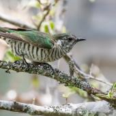 Shining cuckoo. Adult. Bay of Islands, December 2015. Image © Paul Shaw by Paul Shaw